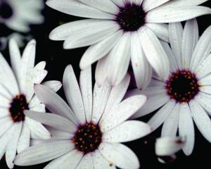 12346_white-gazania-2